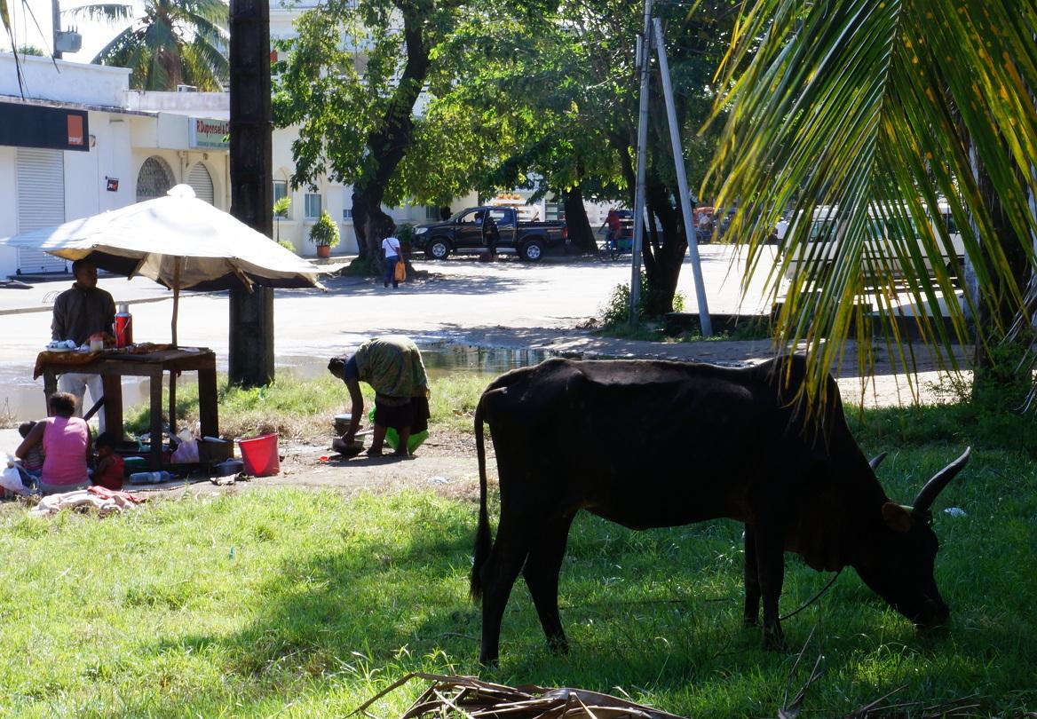 Madagascar: Zebu lunching