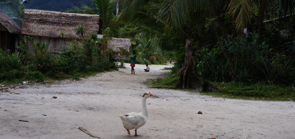 Masoala - village geese