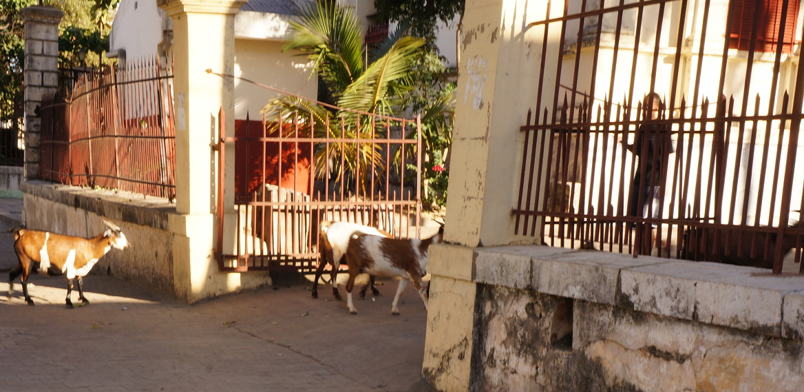 Goats entering the Tribunal building