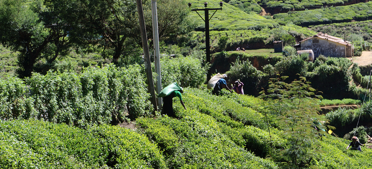 Shantipura - tea pickers