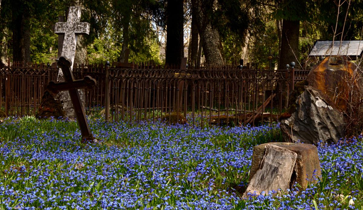 Estonia, Paide - Reopalu Cemetery - carpet of blue flowers