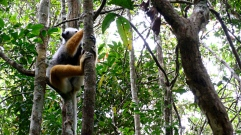 Madagascar-Andisibe-Lemur_in_Tree