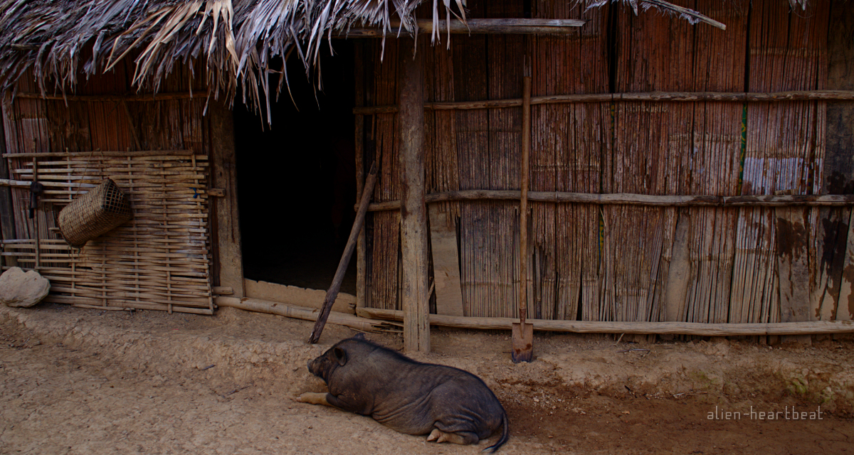Laos-Hmong_village-Pig_in_hut_doorway