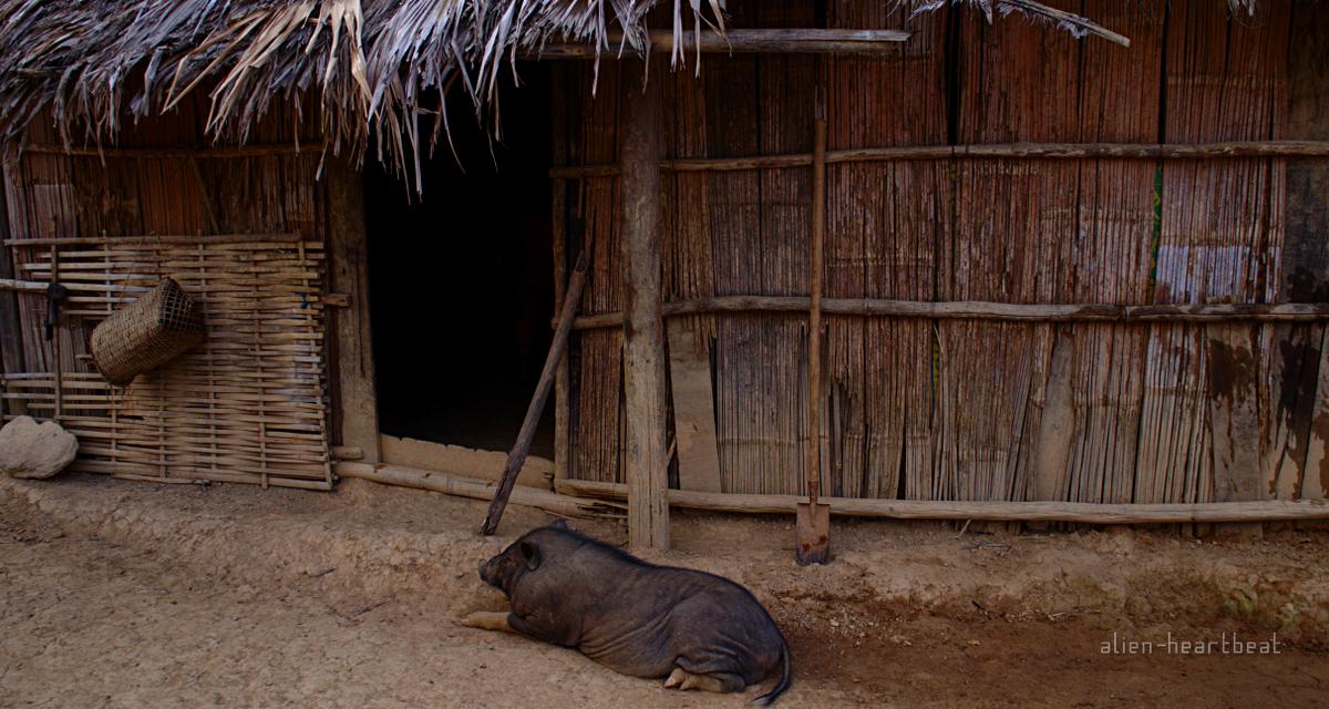 Laos-Hmong_village-Pig_in_hut_doorway