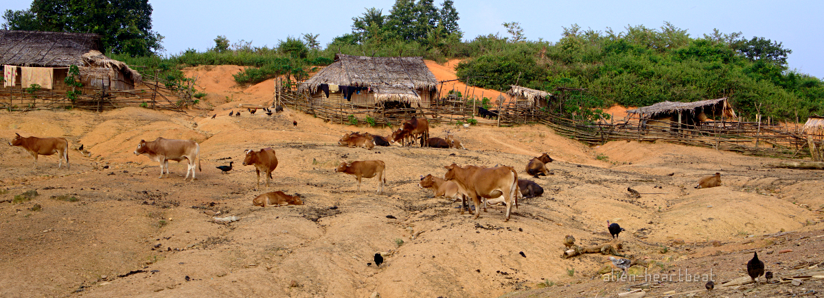 Laos-Hmong_village-entering-cows_and_dung